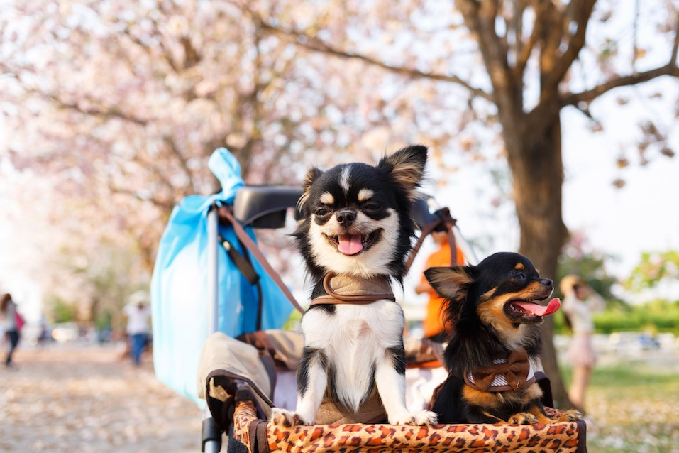 Two Chihuahua dogs sitting on stroller in the garden.
