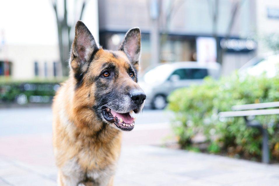 German shepherd standing outside