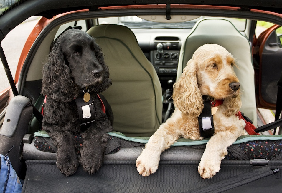 black and golden Cocker Spaniel dogs in back of car