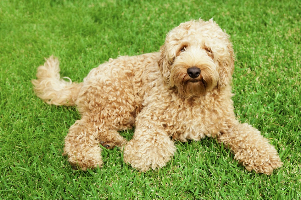 Cute golden labradoodle laying in lush green grass
