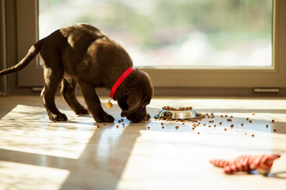 Beautiful brown Labrador eating food from its plate in the living room