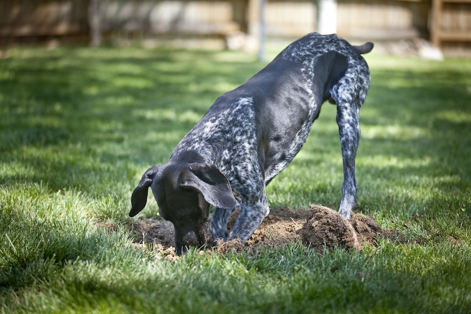 German Shorthaired Pointer digs in yard