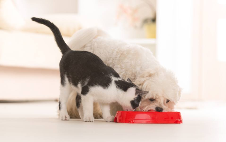Little dog maltese and black and white cat eating food from a bowl in home