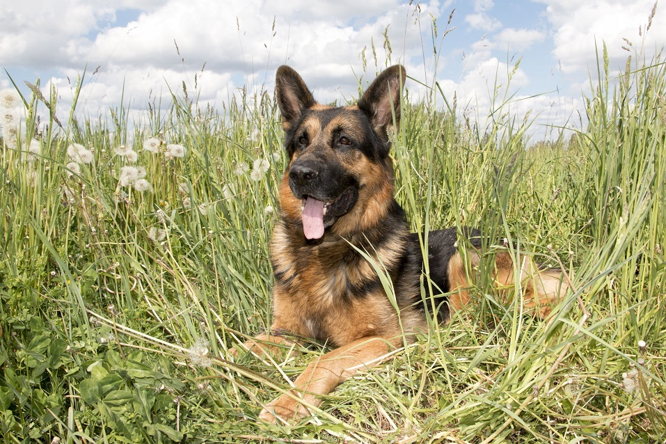 German shepherd in a summer day