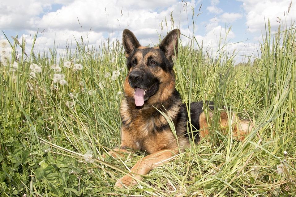 German shepherd in a summer day