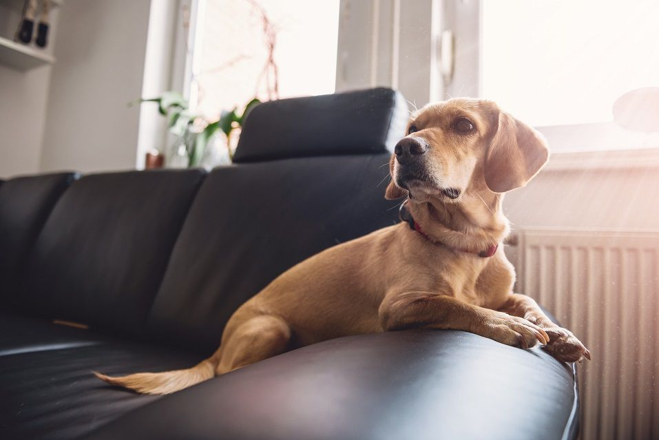 yellow dog sitting on black sofa