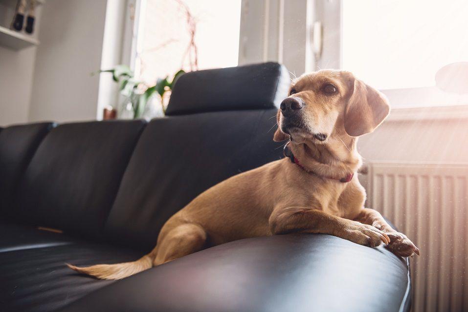 yellow dog sitting on black sofa