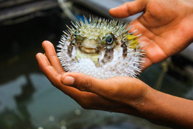 Fugu fish caught while fishing in Siam Bay