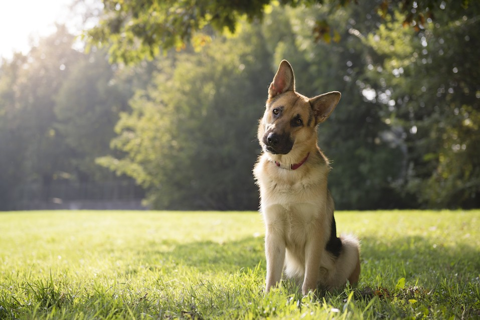 German shepherd sitting in a park surrounded by trees