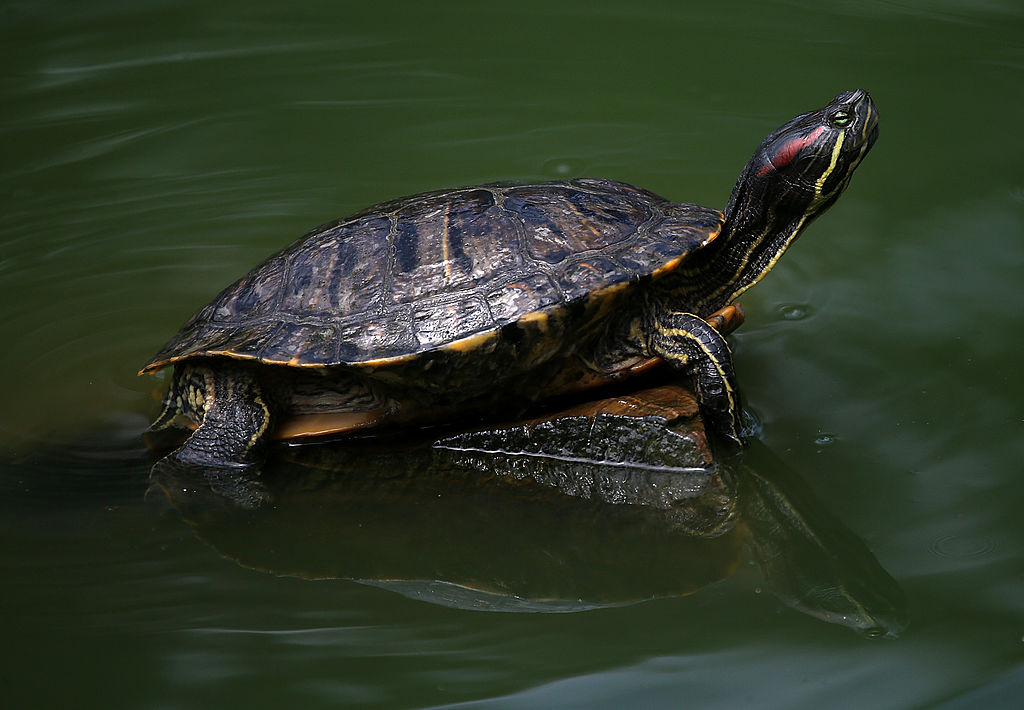 box turtle in water