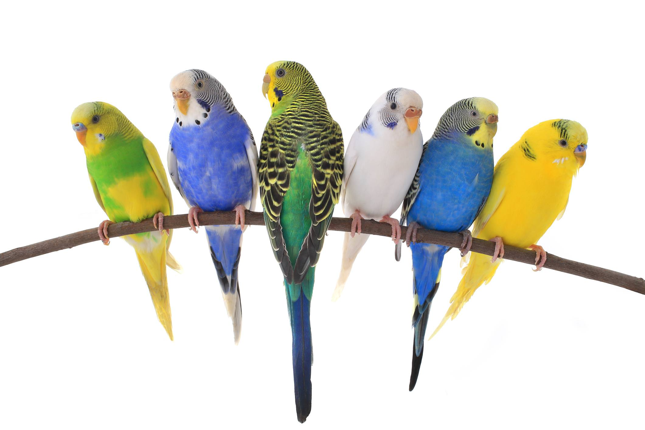 six parakeets on a branch