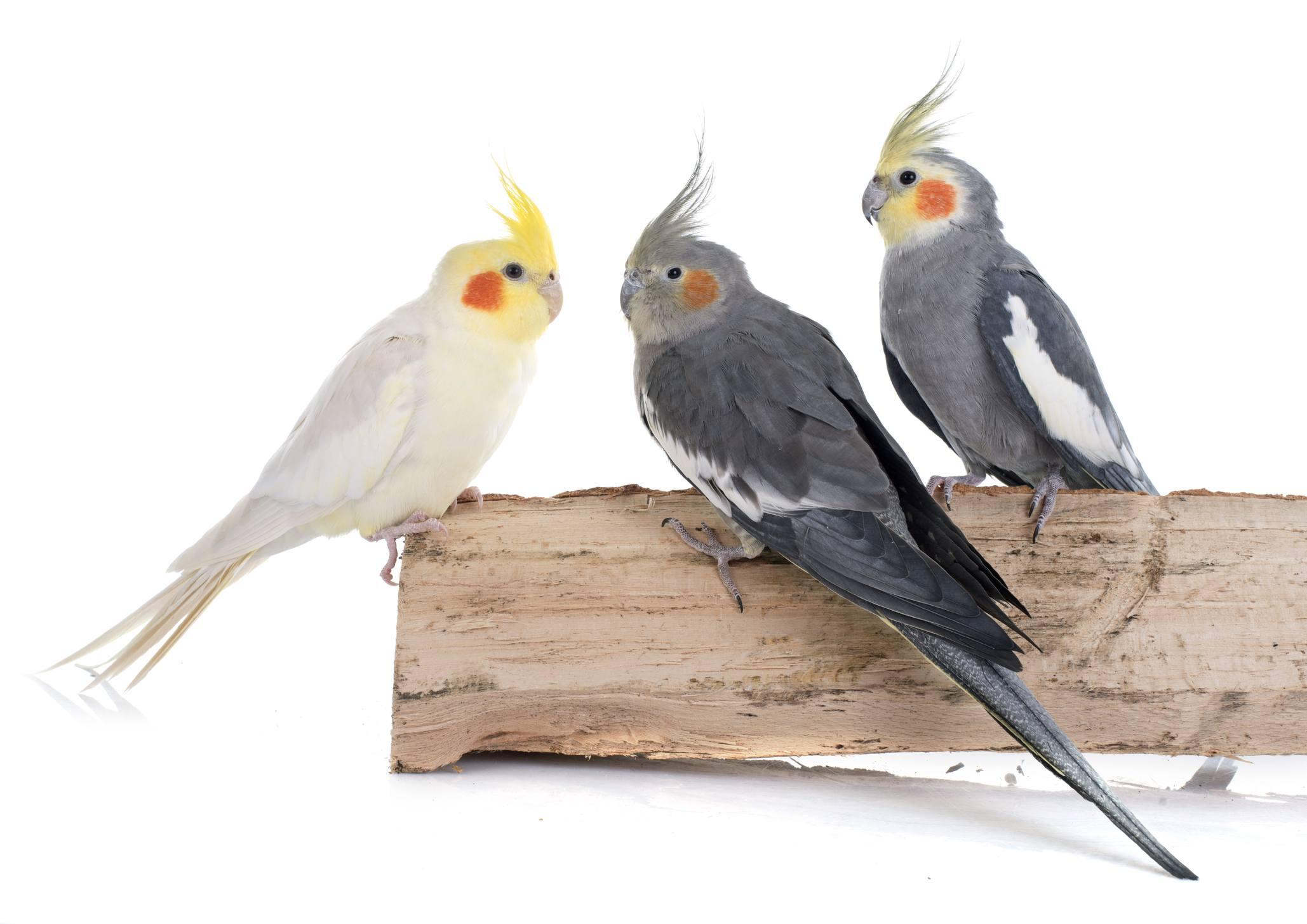 three cockatiels sitting on wood