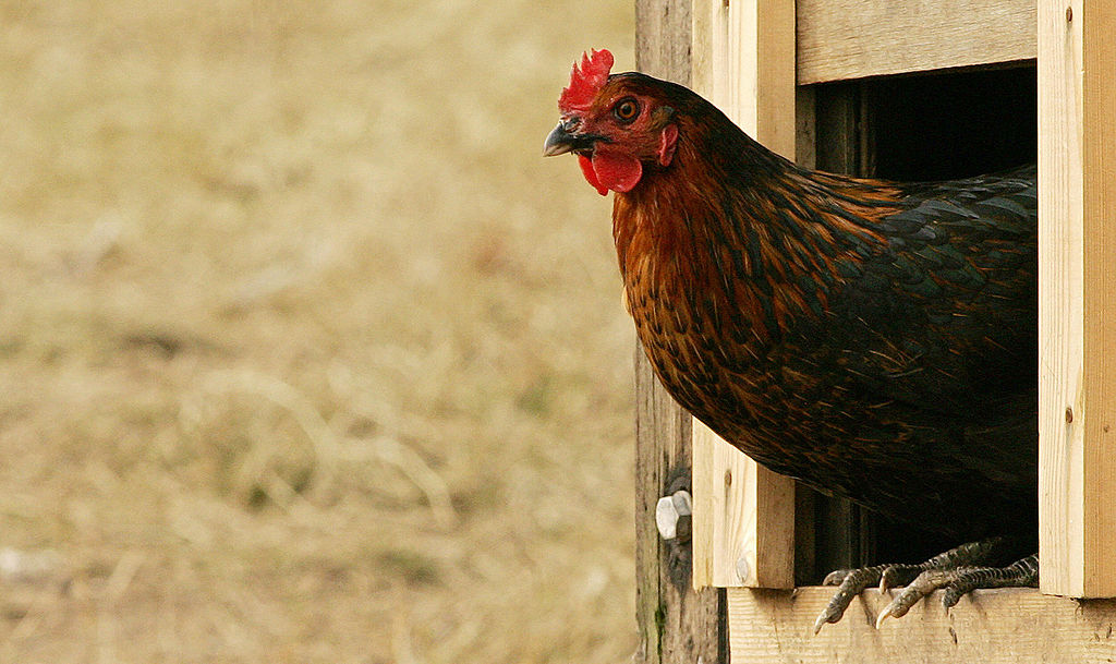 a free-range chicken exits the coop