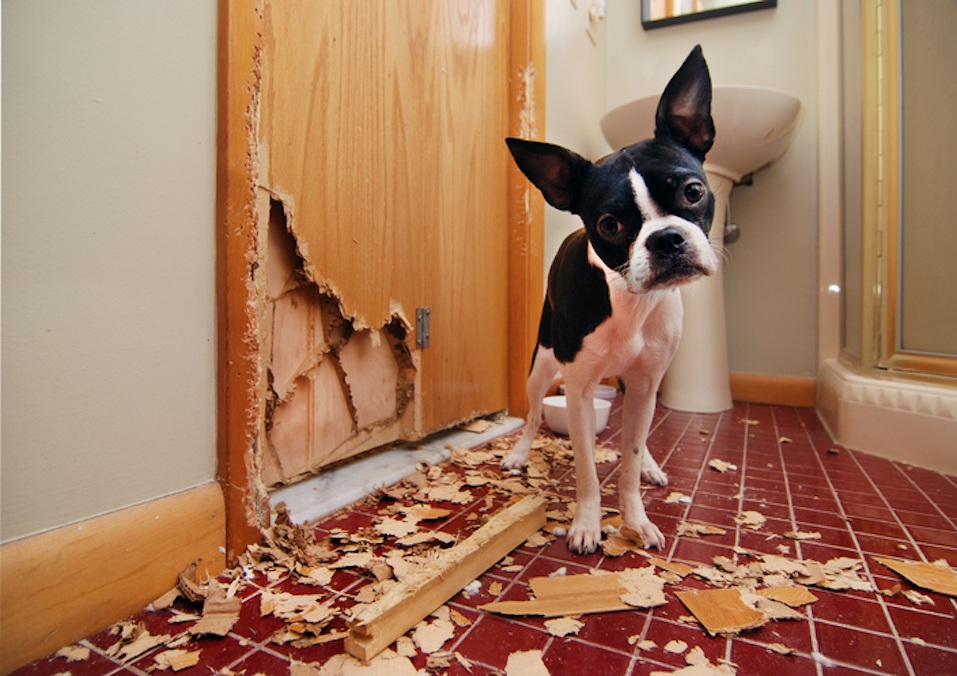 Boston terrier with chewed door