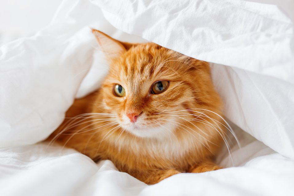 Ginger cat lies on bed. The fluffy pet comfortably hid under a blanket to sleep or to play