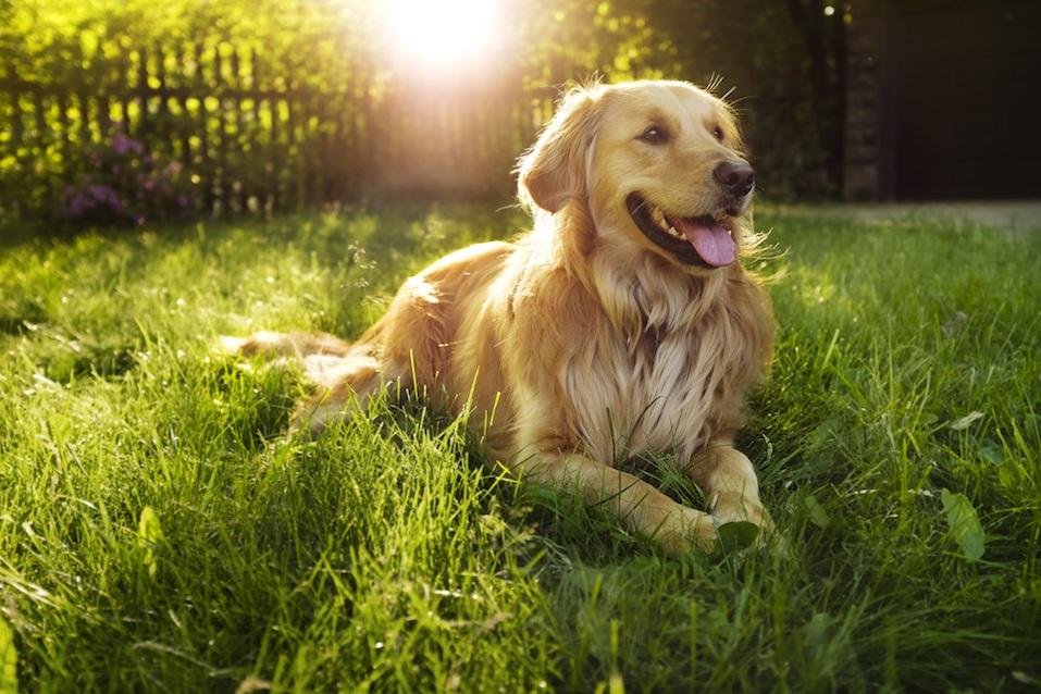Golden retriever lying in grass