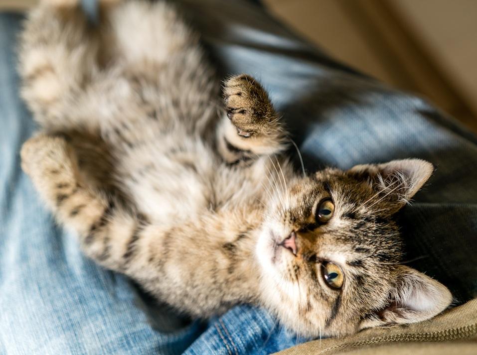 cat in lap