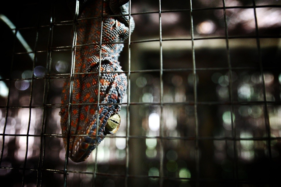 Living gecko being held in cage