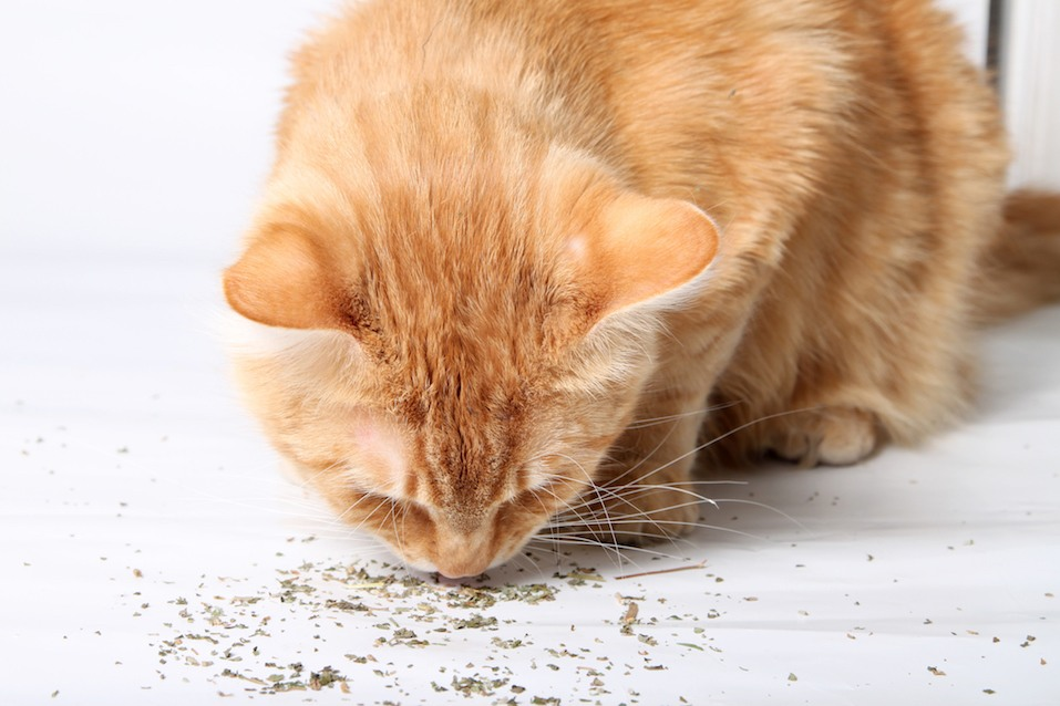 Orange cat eating catnip, a favorite treat of felines