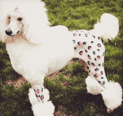 poodle covered in pet paint