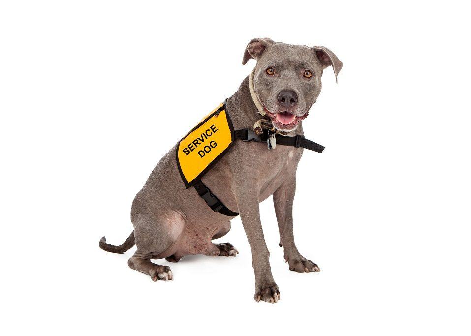 "Pit bull dog with ""service dog"" vest"