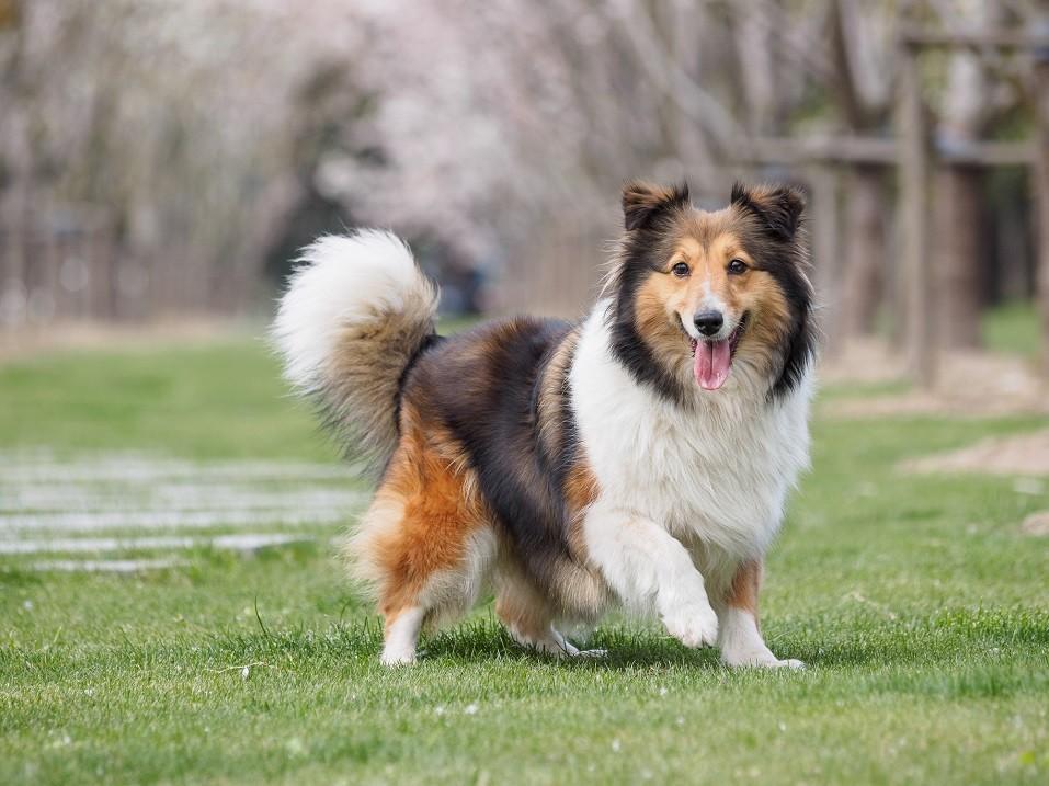 Purebred Shetland Sheepdog