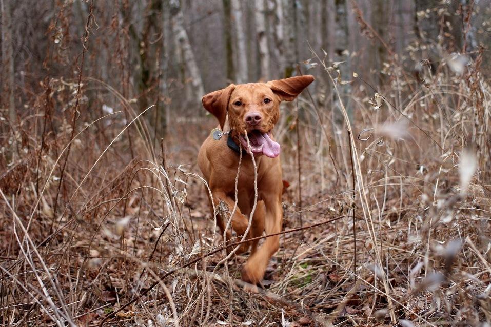 Hunting dog running through long grass