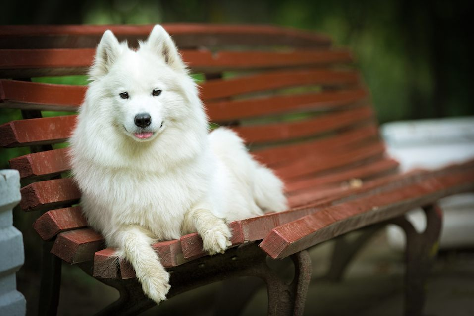 Samoyed dog sitting in the city park.