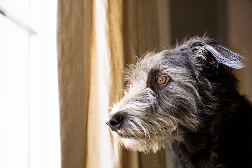 Shaggy terrier dog looking out window with sad expression