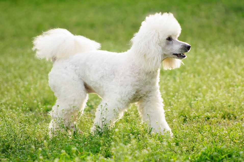 White poodle on green grass