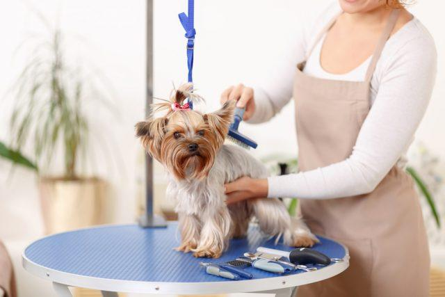 Brushing process. Small Yorkshire terrier sits on the table while being brushed by a professional.
