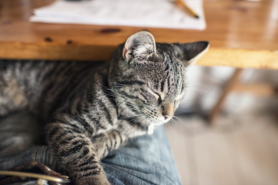 Young tabby cat lying on lap
