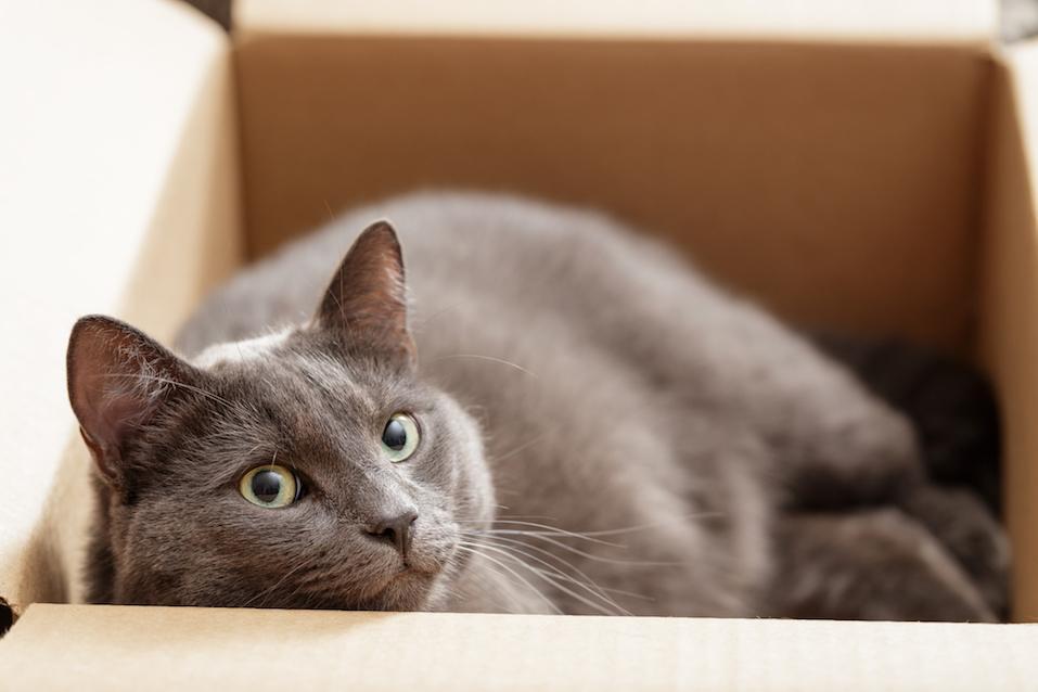 British shorthair cat in a box