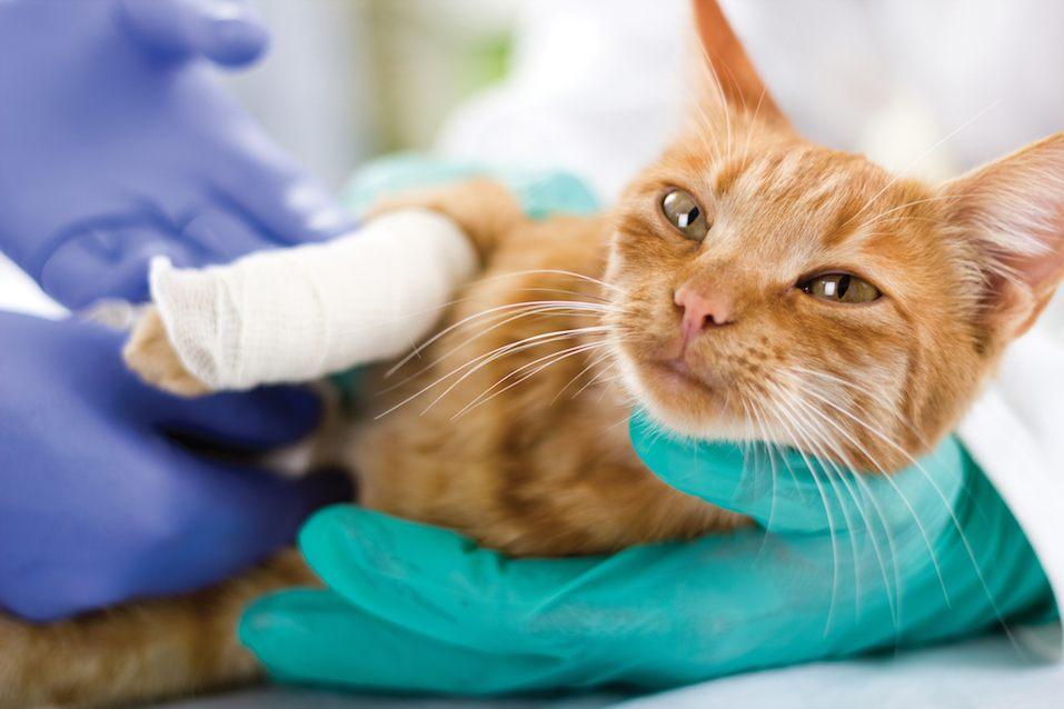 orange cat with broken leg