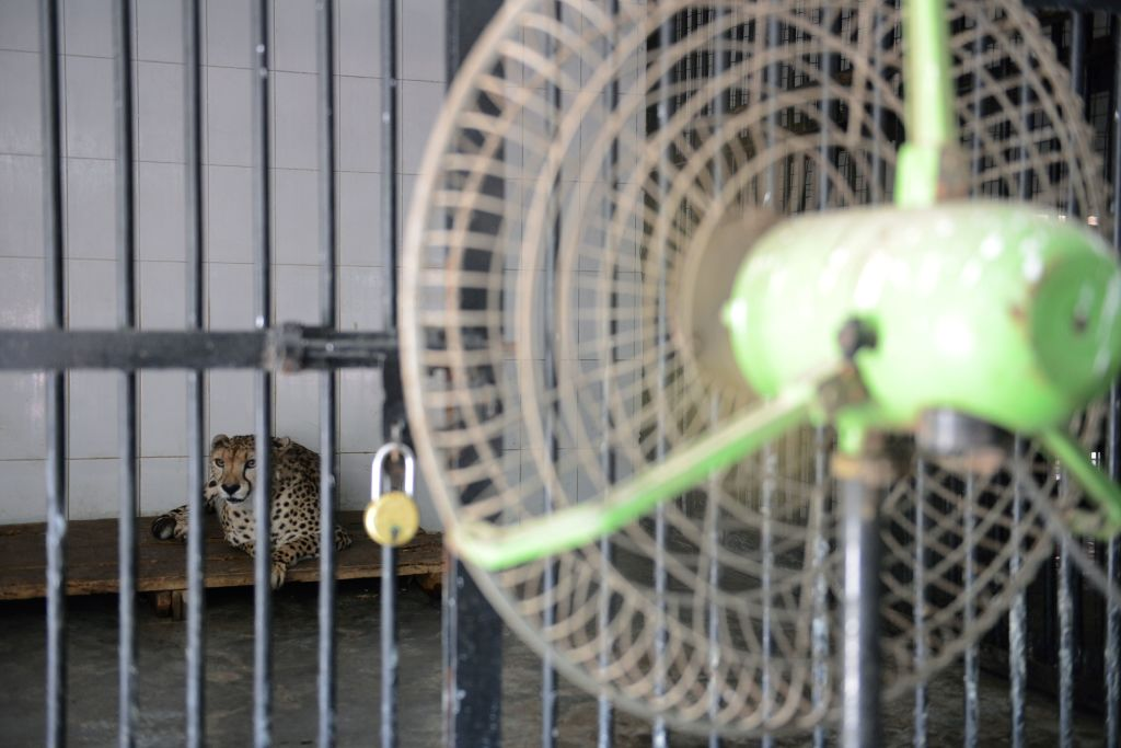A cheetah looks on as a fan cools his enclosure at a zoo in Pakistan's extreme heat.