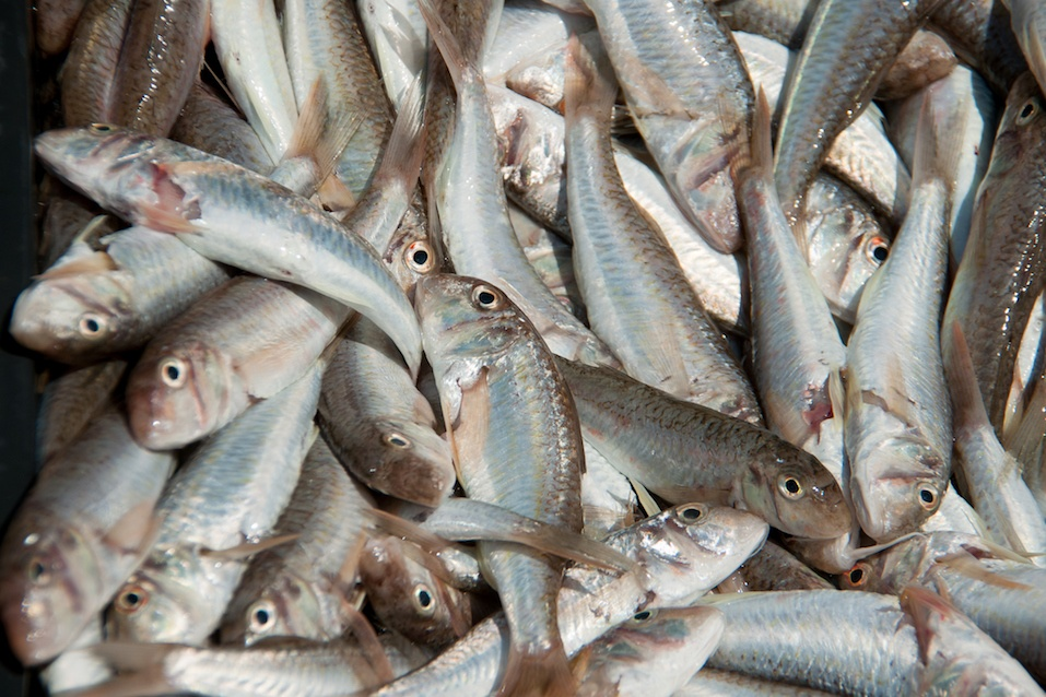fish goatfish huge amount of cleaning washed