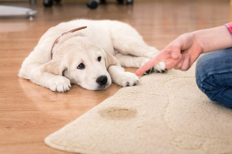 Cleaning puppy pee off carpet