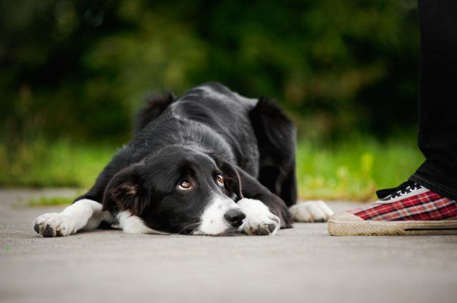 little puppy border collie lying near people foot