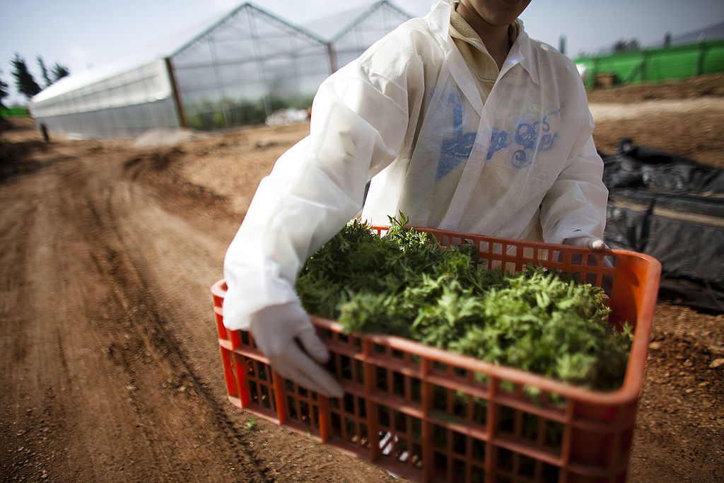 A worker carries marijuana at a growing facility