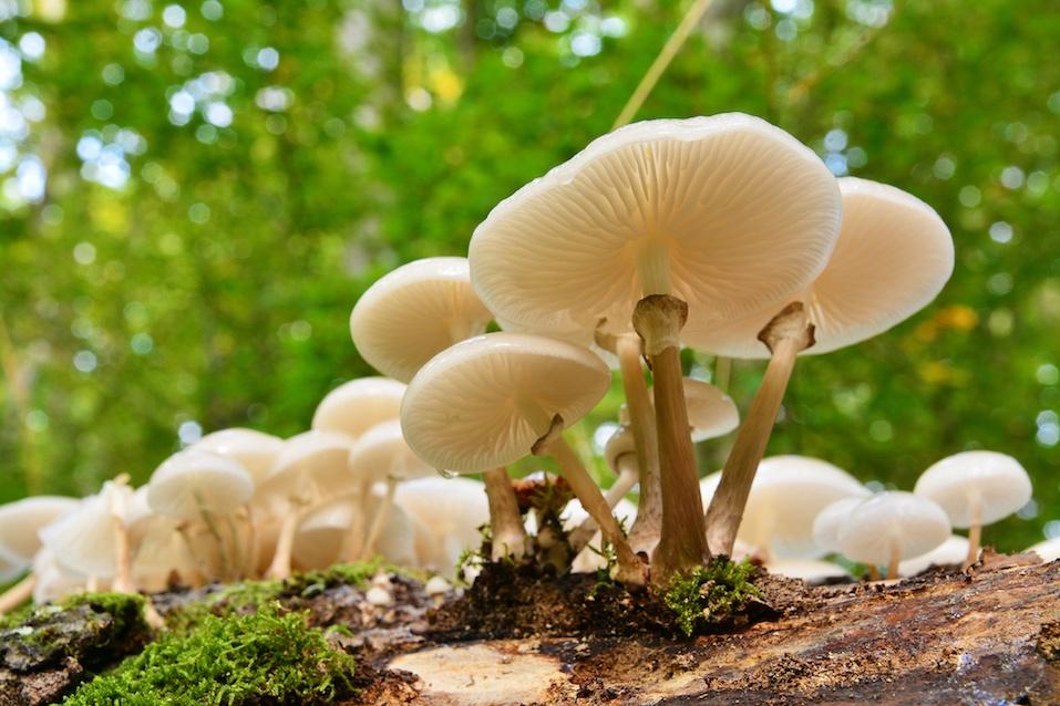 porcelain mushroom