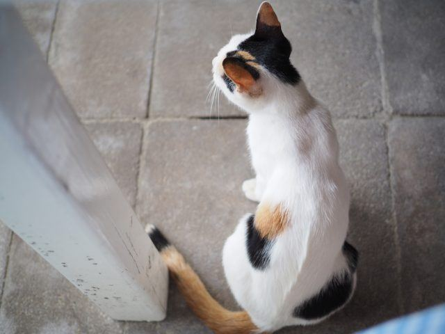 tri-color cat with its back turned