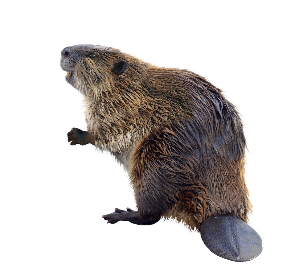 A North American Beaver standing on his hind legs showing his tail