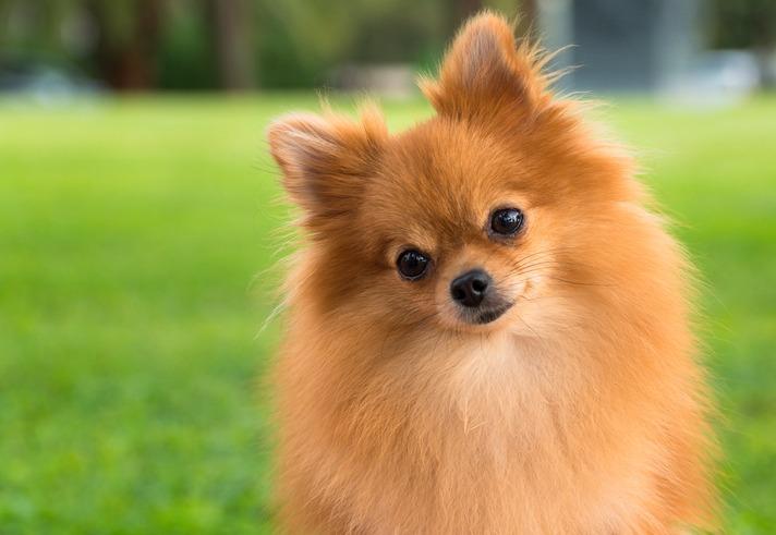 A pomeranian dog on a blurry grass background