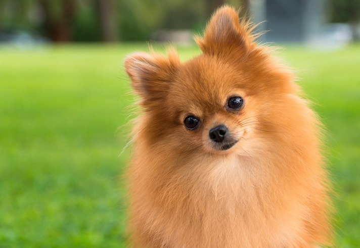 A pretty pomeranian female dog on a blurry grass background
