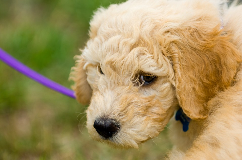 Adorable Goldendoodle Puppy