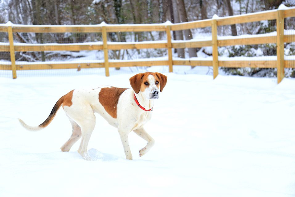 American Foxhound in snow