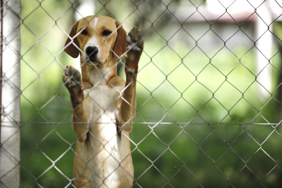 dog behind chain-link fence
