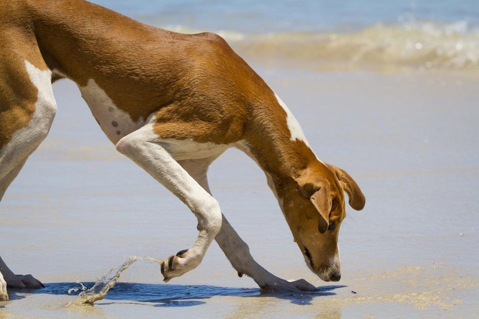 Azawakh Puppy exploring the beach