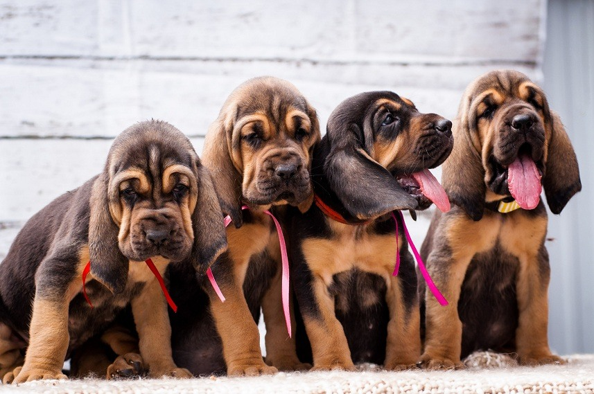 Bloodhound puppies