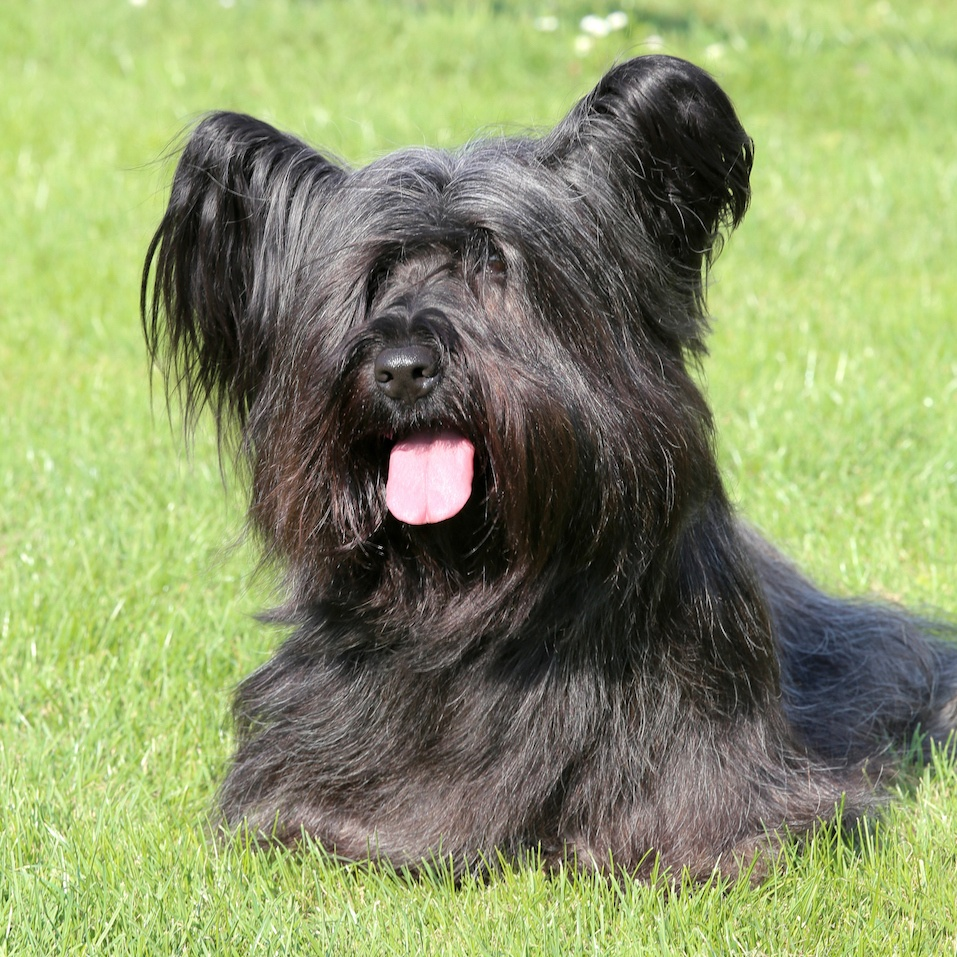 Black Skye Terrier in the garden
